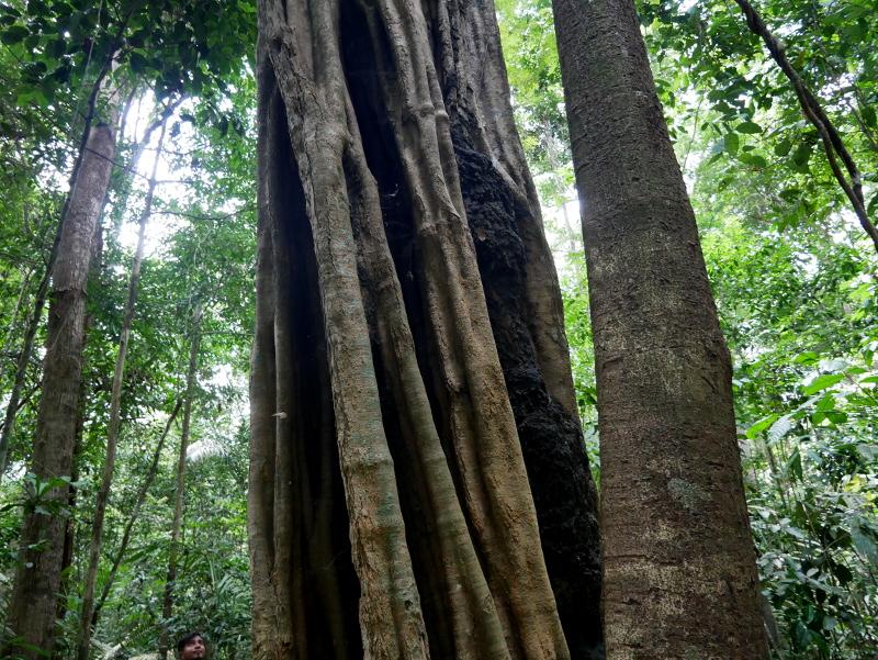 baum regenwald brasilien amazonas