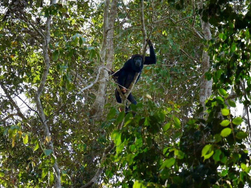 bruellaffe-freibeuter reisen regenwald