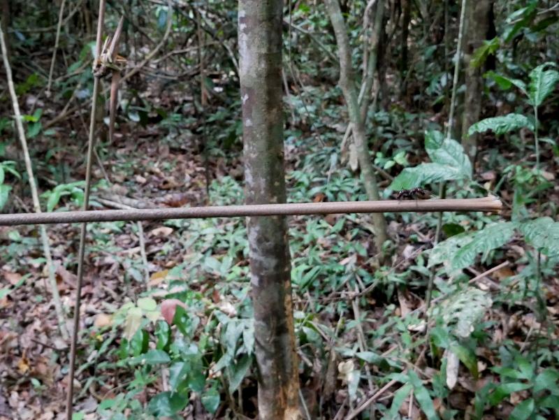 riesenameise regenwald brasilien amazonas formiga
