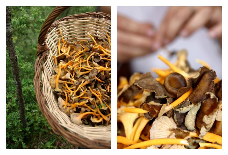 Pilze sammeln im Herbst an der costa Brava