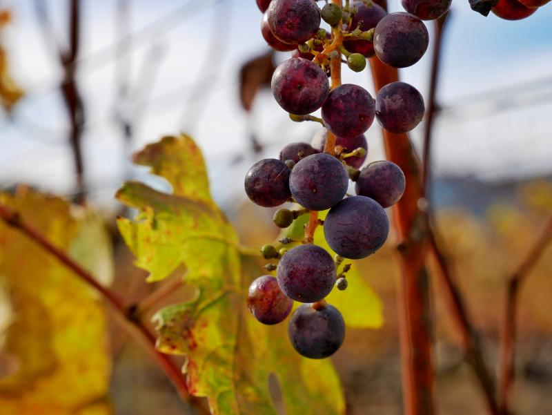 Weinreben im Herbst Otazu navarra