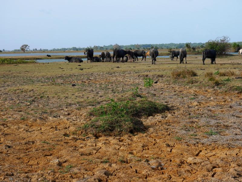 Herde wasserbüffel Insel ilha Marajó