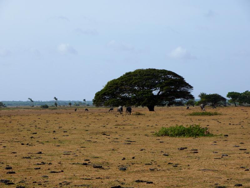 Baum wasserbüffel Insel ilha Marajó