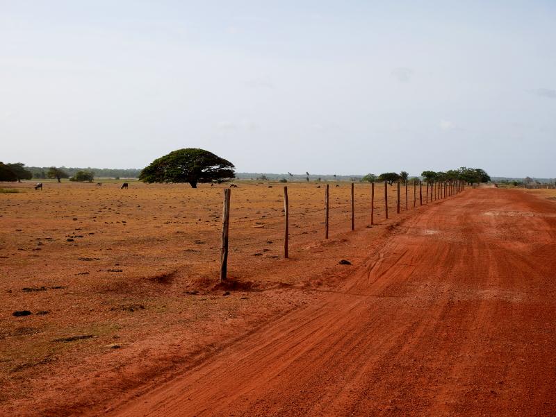 rote wege wasserbüffel Insel ilha Marajó