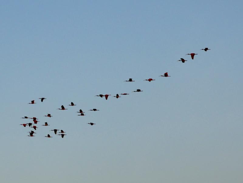 atins roter ibis