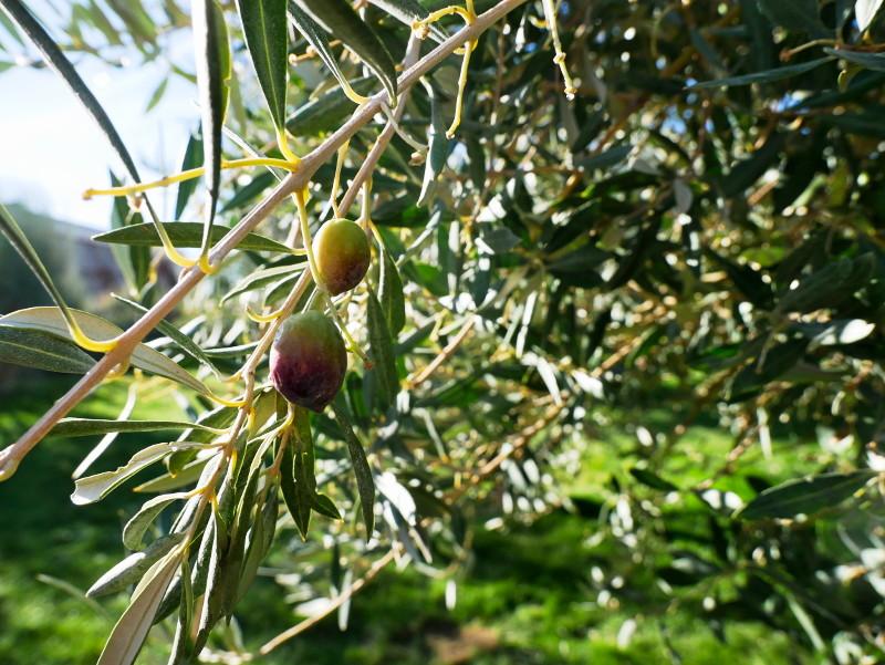 olive am baum navarra