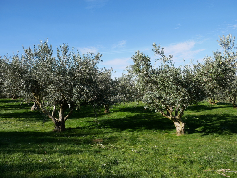 olivenbaeume oliven aceite artajo navarra