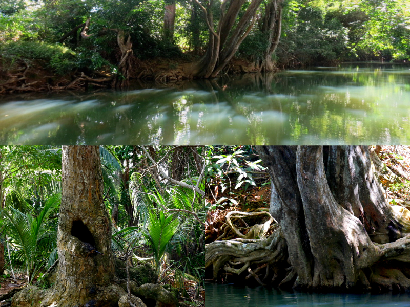 knorrige baeume guadeloupe karibik legenden mangroven