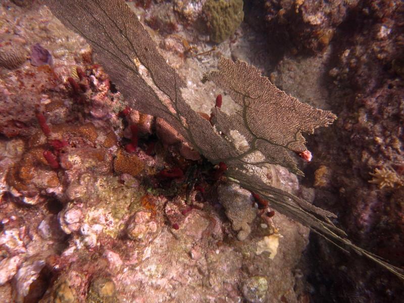 gorgonien korallen guadeloupe reserve cousteau
