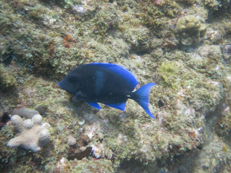 paletten Doktorfisch guadeloupe reserve cousteau