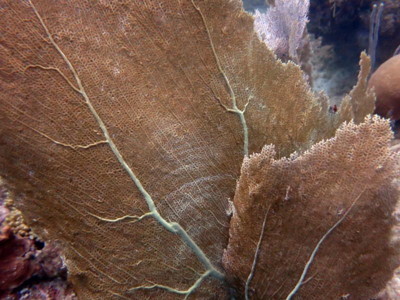 gorgonien meerspflaznen paletten Doktorfisch guadeloupe reserve cousteau tauchen