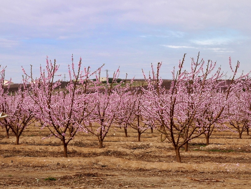 anbau rosa fruehling Pfirsich Bluete Aitona Freibeuter reisen