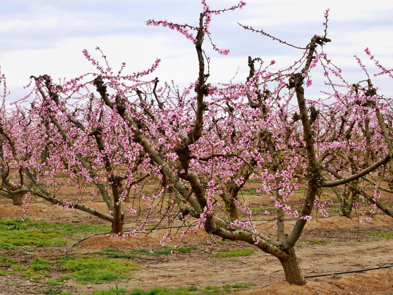 der pfirsichbaum- Pfirsich Bluete Aitona