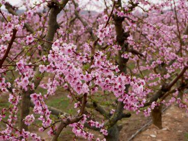 fruehling Pfirsich Bluete Aitona