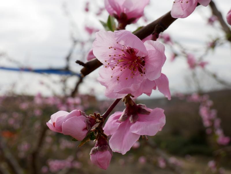 frucht tourismus Pfirsich Bluete