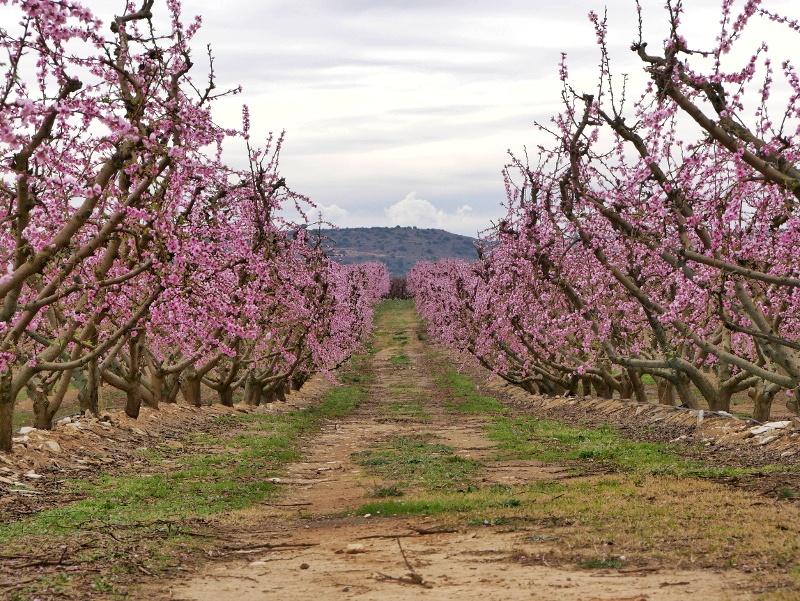 pfirsich bis zum horizont Pfirsich Bluete Aitona