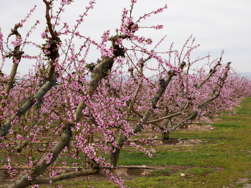 verliebt in die rosa Pfirsich Bluete Aitona