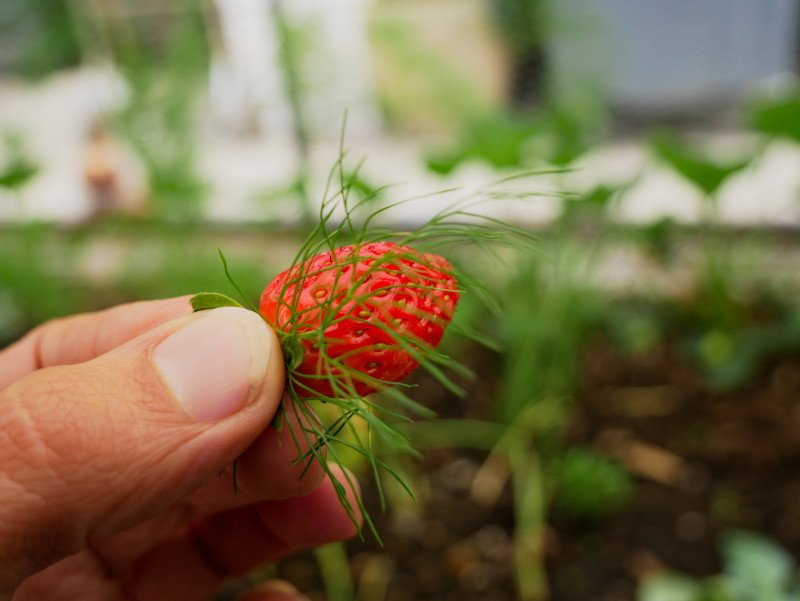 hotel manoir hastings erdbeere mit fenchel