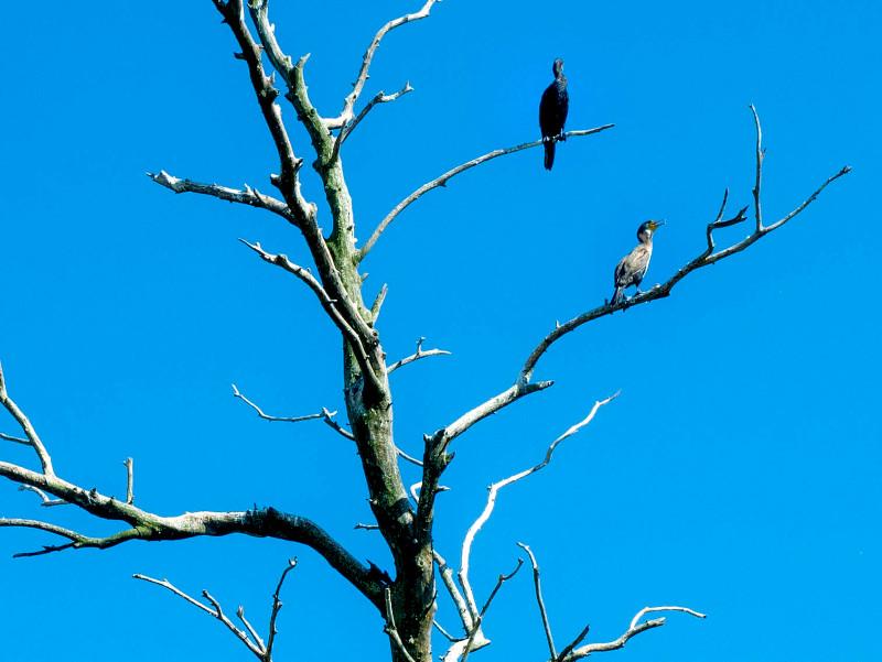 kormoran vogel donaudelta rumaenien