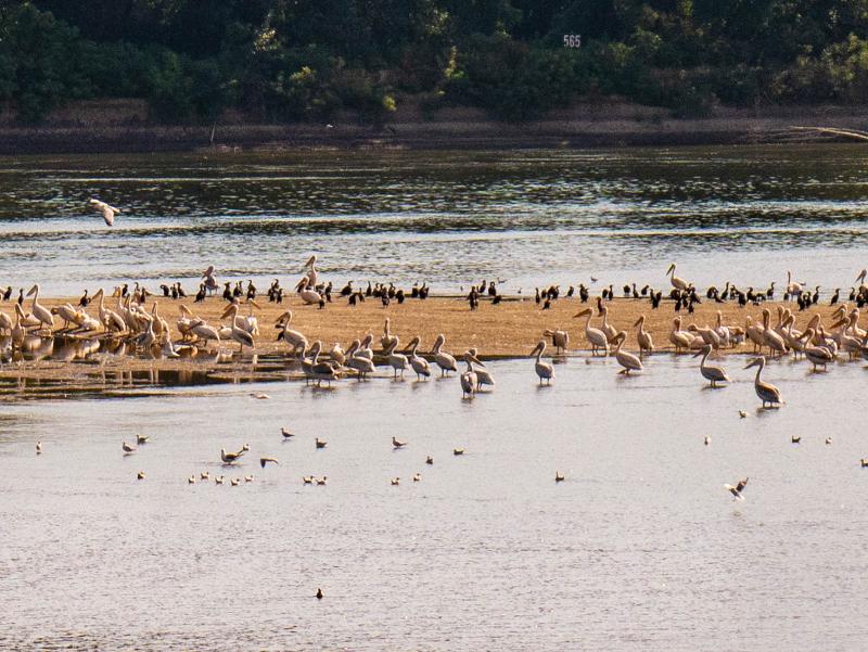 pelikane Donau