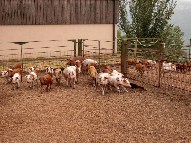 auslauf glueckliches schwein salgot oekofarm katalonien freibeuter reisen