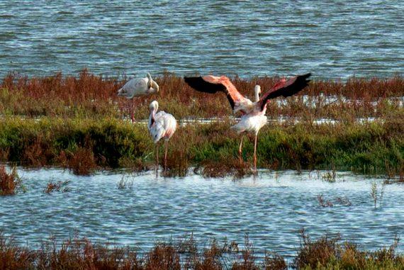 ebrodelta flamingos Delta del Ebro