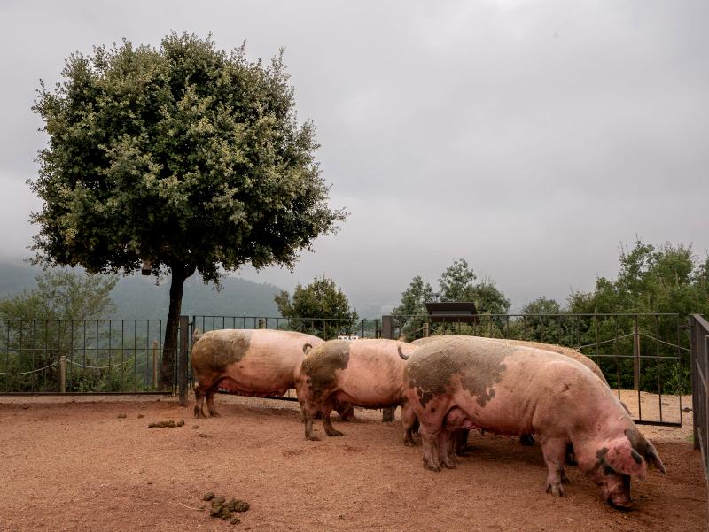 glueckliche schweine salgot oekofarm katalonien