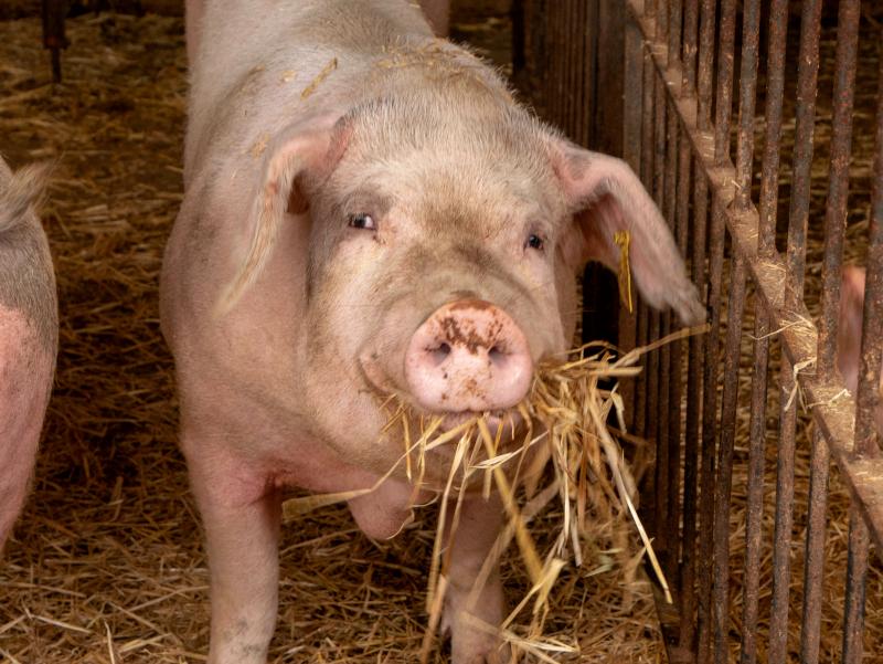 glueckliches schwein salgot oekofarm katalonien