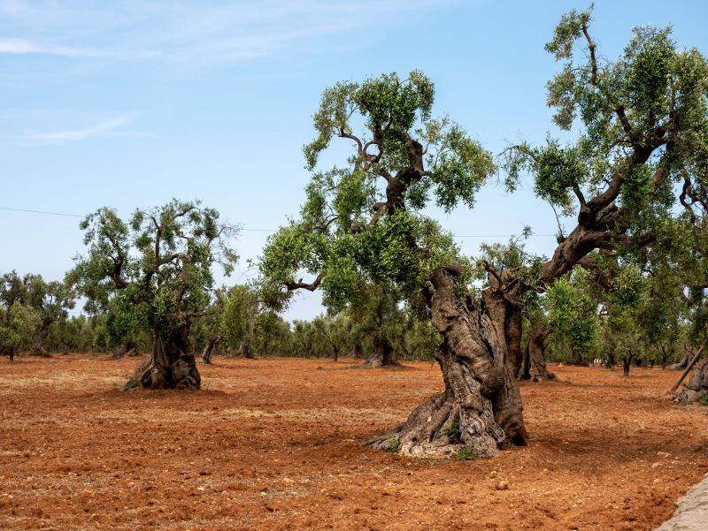 monopoli olivenbaum