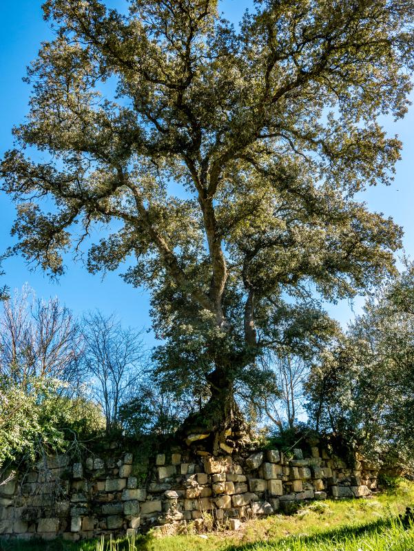 Baum Stadtmauer Idanha-a-Velha