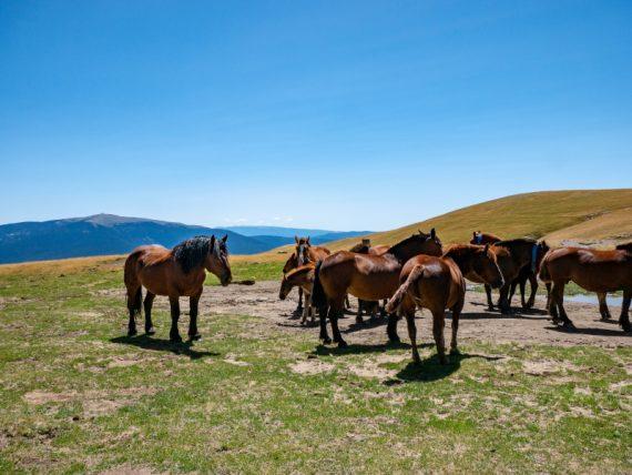 HErde Pferde grasen Vall d'Àssua