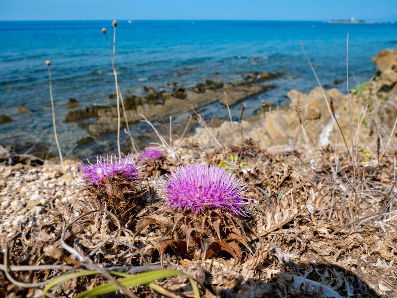 flora blume diestel punta licosa Nationalpark Cilento