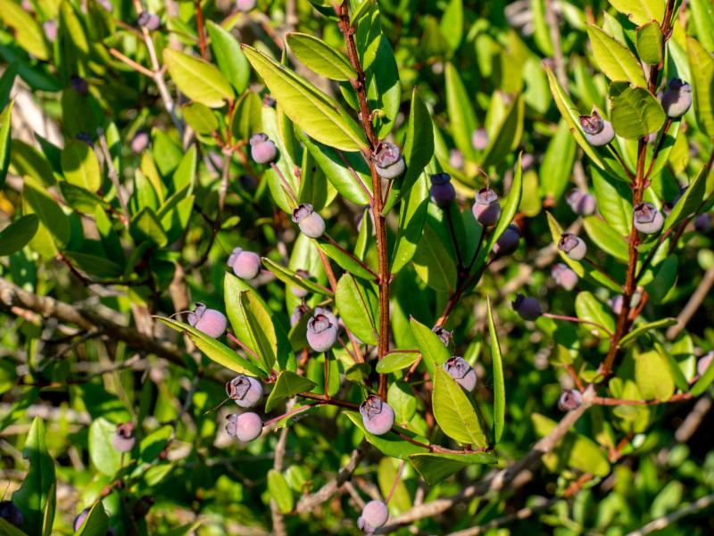 flora monte licosa Nationalpark Cilento