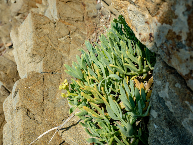 seefenchel punta licosa Nationalpark Cilento