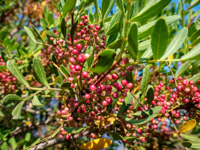 suesser pfeffer flora monte licosa Nationalpark Cilento