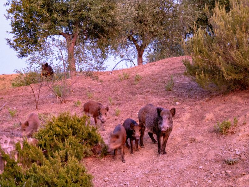 wildschweine cilento