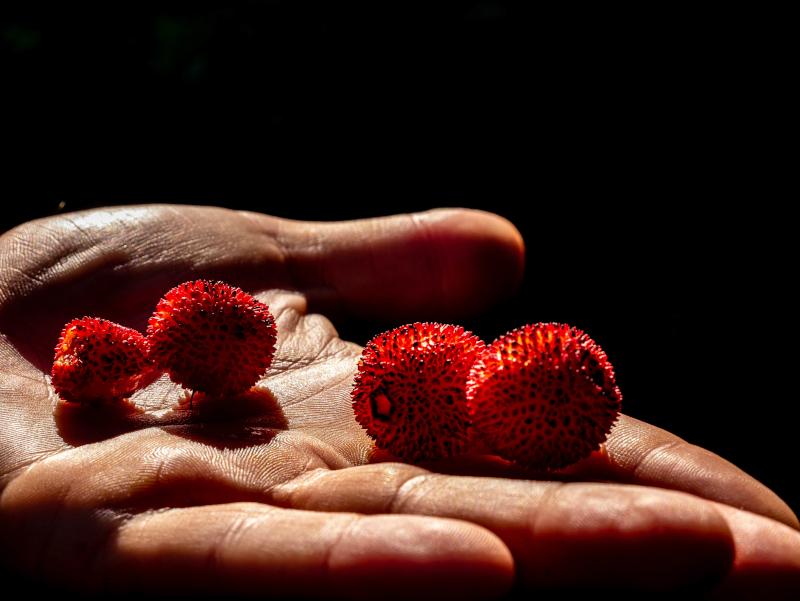 reife medronho erdbeerbaum