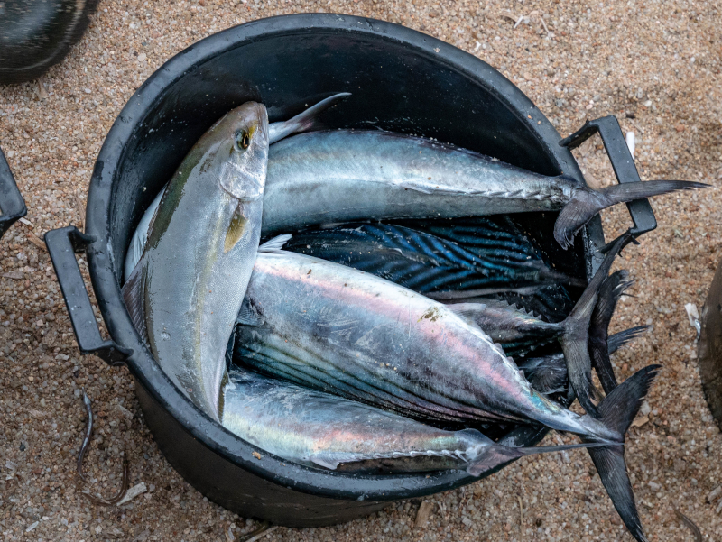 gefangene fische tirada a lart lloret de mar