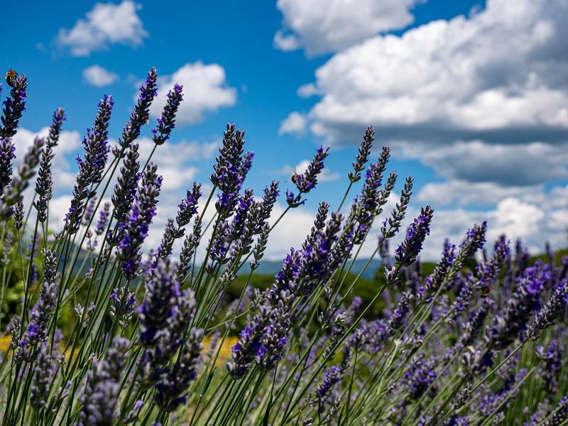 parc dels olors lavendel