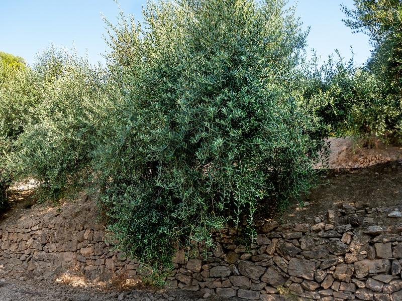 oliven oel d o siurana celler masroig