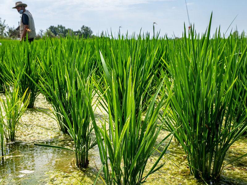 Reisanbau im Ebrodelta