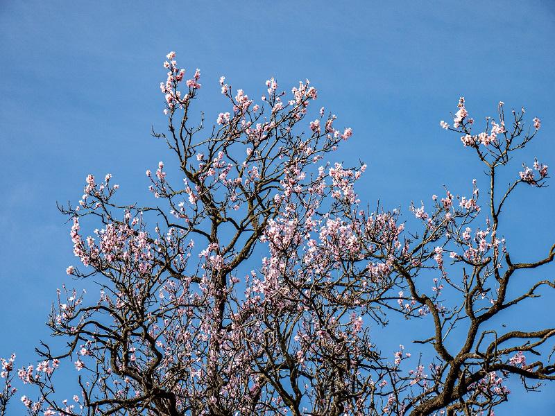 blüten mandelbaum frühling