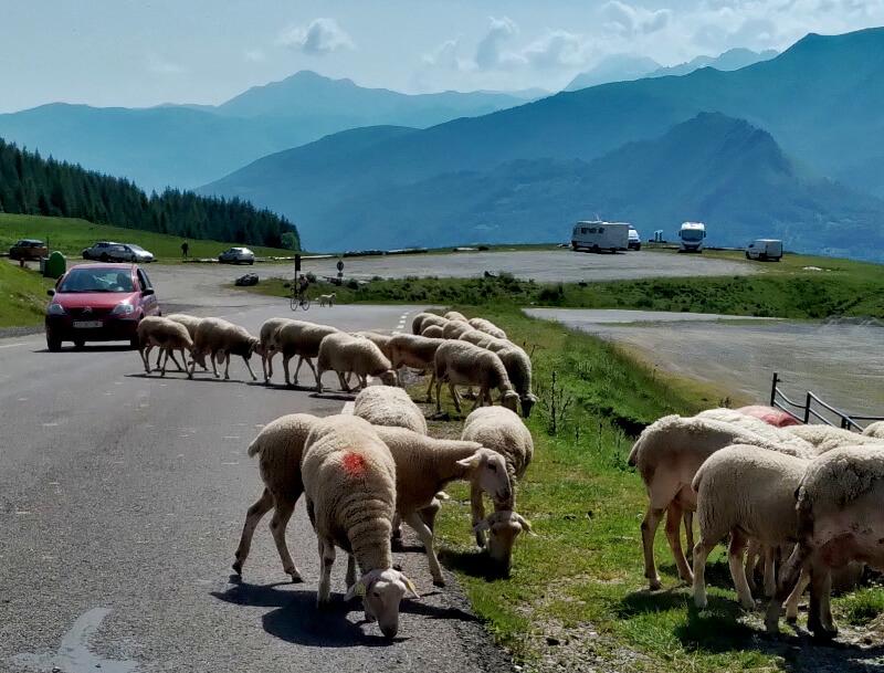 Schäfer Schafe