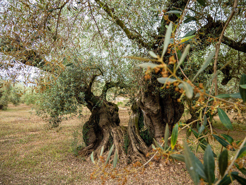 ulldecona olivos milenarios
